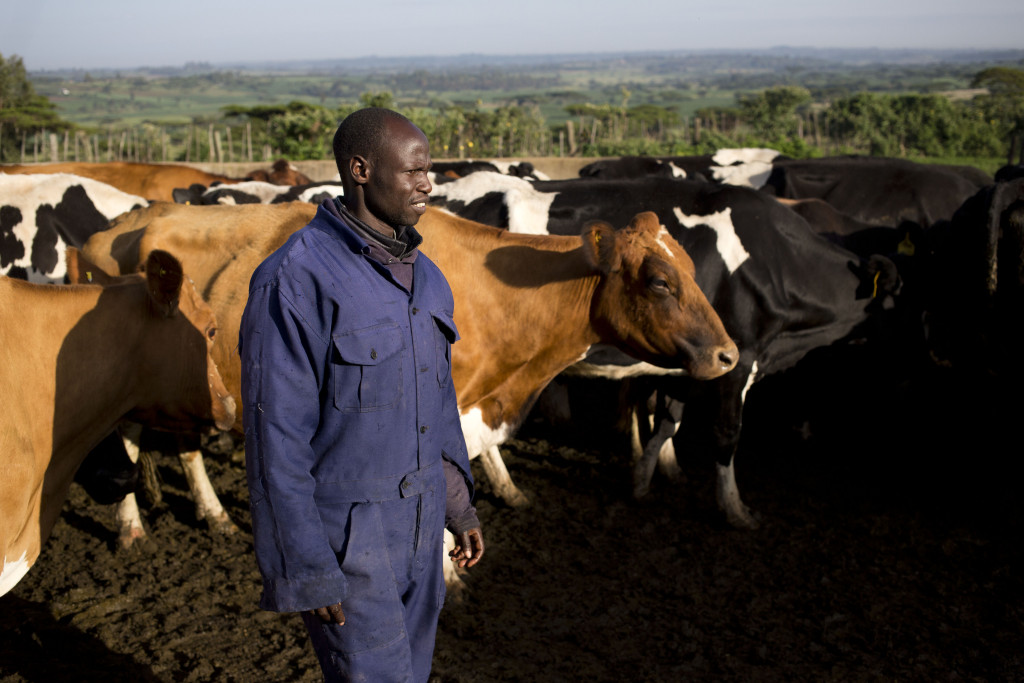 Worker , Isaiah Too herd cows to stables to be milked at the farm , Mara outside the Kenyan city of Eldoret, Monday, 8 June, 2015.GALVmed is working to protect livestock and improve human lives by making livestock vaccines, diagnostics & medicines accessible and affordable to the millions of those who rely on livestock. The organisation provides three main services: research and development of vaccinations, market development to provide vaccinations and information to livestock keepers and advocacy of its work to key stakeholders.Photo/Karel Prinsloo